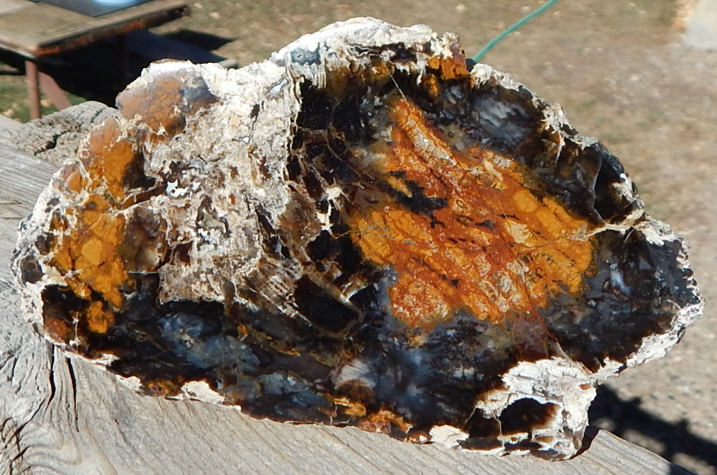 Hubbard Basin petrified wood specimen