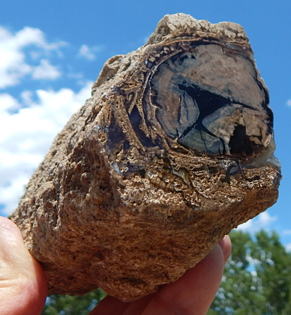 blue forest wyoming petrified wood